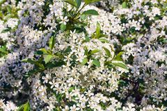 The blooming branches of a wild cherry bush. A lot of small white flowers on a green leaves background Royalty Free Stock Images