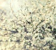 Blooming briar Royalty Free Stock Photo