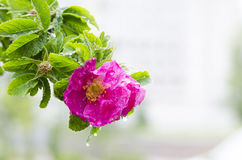 Blooming briar Stock Image
