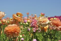 Blooming bright colored flowers in a field Stock Image