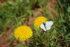 Blooming bright dandelions, yellow with green leaves and white butterfly in natural conditions. Close-up. Dandelions yellow with green leaves and white stock image