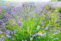 Flowering bush of lavender close-up. Blooming bright lavender bush close-up royalty free stock images
