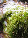 Blooming bright moss in the snow on a log close-up royalty free stock photos