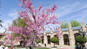 Blooming bright purple tree in the garden at the Narzan gallery in Kislovodsk, Russia.  royalty free stock image