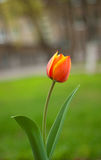 Blooming bright red and yellow tulip. Growing on the street Stock Photo