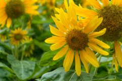 Blooming bright yellow sunflowers nature floral background royalty free stock images