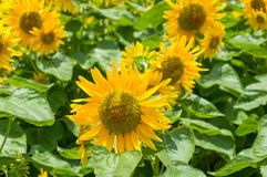 Blooming bright yellow sunflowers nature floral background stock photo