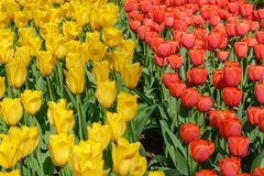 Blooming vibrant colored yellow and red tulips stock image