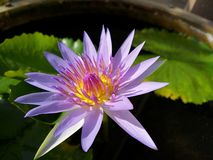 Light purple water lily stock photo