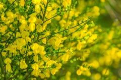 Blooming broom bush (Cytisus scoparius). Royalty Free Stock Photography