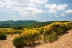 Blooming Broom in landscape Stock Photo