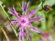 Blooming Brown Knapweed, Centaurea jacea macro, shallow DOF, selective focus Royalty Free Stock Photos
