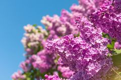 Blooming brush of lilac bush - purple color, against the blue sky. Blooming brush of lilac bush - purple color, against the blue sky stock photo