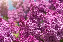 Blooming brush of lilac bush - purple color, against the blue sky. Blooming brush of lilac bush - purple color, against the blue sky royalty free stock photos
