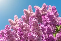 Blooming brush of lilac bush - purple color, against the blue sky. Blooming brush of lilac bush - purple color, against the blue sky stock image