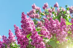 Blooming brush of lilac bush - purple color, against the blue sky. Blooming brush of lilac bush - purple color, against the blue sky stock images
