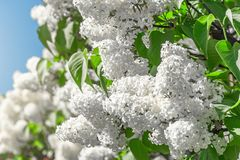 Blooming brush of lilac bush - white color, against the blue sky. Blooming brush of lilac bush - white color, against the blue sky royalty free stock photo