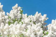 Blooming brush of lilac bush - white color, against the blue sky. Blooming brush of lilac bush - white color, against the blue sky stock photo