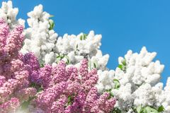 Blooming brush of lilac bush - white and purple color, against the blue sky. Blooming brush of lilac bush - white and purple color, against the blue sky stock photos