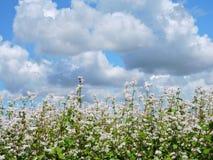Blooming buckwheat field Royalty Free Stock Photo