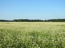 Blooming buckwheat field in summer, Lithuania Stock Image