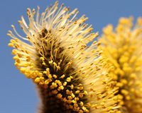 Blooming bud of Salix Caprea, close-up Royalty Free Stock Images