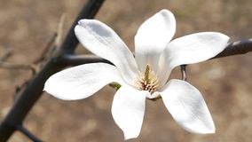 Blooming bud of white magnolia. Close up stock video footage