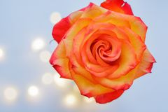 Blooming bud of a yellow-red rose on a blue background royalty free stock image