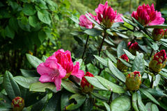 Blooming and budding bright shades of pink Rhododendron flowers shrubs on rainy day in Kurokawa onsen town Royalty Free Stock Photos