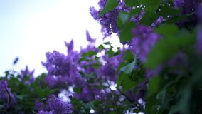 Blooming buds of purple lilac with green leaves. Stock footage. Beautiful natural flowers of purple lilac on background. Cloudy sky in spring stock video