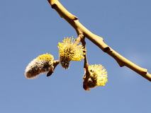 Blooming buds of Salix Caprea, close-up. Pussy willow in springtime, close- up image Stock Images