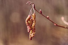 Blooming buds in the spring royalty free stock image