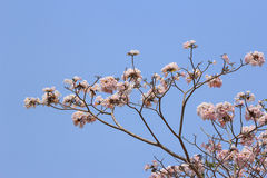 Blooming and buds of tabebuia Stock Photo