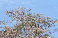 Blooming and buds of tabebuia Royalty Free Stock Image