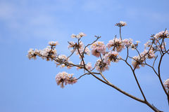 Blooming and buds of tabebuia Stock Photos