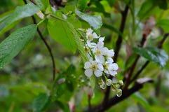 Blooming bunch cherry with drops of rain. Prúnus pádus Stock Image