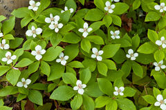Blooming Bunchberry carpet Cornus canadensis Royalty Free Stock Photography