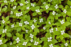 Blooming Bunchberry Cornus canadensis background Royalty Free Stock Image
