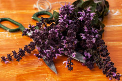 Blooming bunches Basil Royalty Free Stock Images