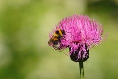 Blooming burdock. Close-up. Royalty Free Stock Image