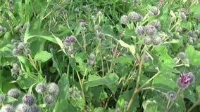 Blooming burdock in the summer field. Arctium. HD video. stock footage