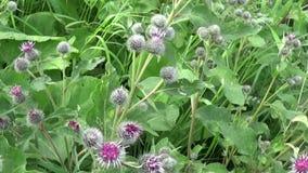 Blooming burdock in the summer field. Arctium. HD video. stock video footage