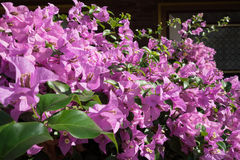 Blooming bush called Bougainvillea Spectabilis Royalty Free Stock Image