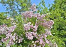 Blooming bush 2 Royalty Free Stock Photos