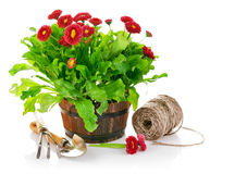 Blooming bush daisies in pot with garden tools Stock Photos
