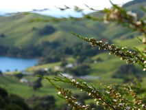 Blooming bush. Flowers over Coromandel hills background in New zealand stock images