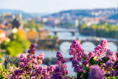 The blooming bush of lilac against Vltava river and Charles bridge, Prague Stock Photography