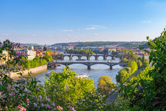 The blooming bush of lilac against Vltava river and Charles bridge, Prague Stock Images