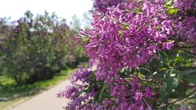 Lilac bush blooms. Blooming bush lilac lilac in the garden. May weekend in the park stock video