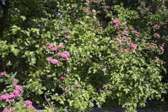 Blooming bush in the park. Royalty Free Stock Photo